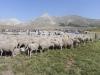 Lampaat pysyvät kasassa, koirat tuntevat omat lampaansa