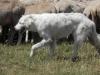 Lammasvahti