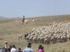 Lampaat lähdössä