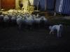 Vahdissa tyypillisesti asettuneena lampaiden ja meidän puoleen väliin.