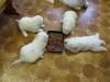koiranpentukuvia-11-032